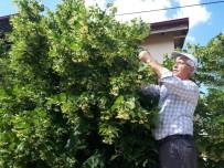 GRİP - Ihlamur Hasadı Başladı