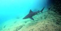 GÖKOVA KÖRFEZİ - Ege Denizi'nde Görülen Köpek Balıklarının Sırrı