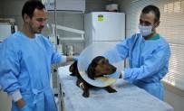 AV KÖPEĞİ - (Özel) Ameliyatla Hayata Tutunan Sevimli Av Köpeği Sahibini Bekliyor