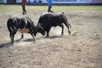 YUSUF GÜNEY - Araba Fiyatına Boğalar Artvin Festivalinde Sahneye Çıktılar