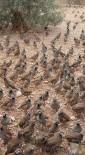 Adana'da Doğaya 3 Bin Keklik Salındı