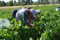 Çiftçiler Fasulye Hasadından Umutlu