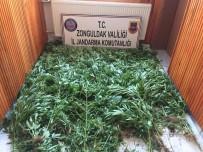 Zonguldak'ta 875 Kök Kenevir Bitkisi Ele Geçirildi