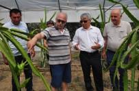 MUSTAFA YIĞIT - Ejder Meyvesi Pitaya Manavgat'ta Yetiştirildi