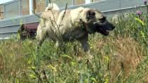 'Sadık Dost' Kangal Köpeklerine İlgi Arttı