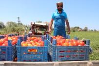 ZAM ŞAMPİYONU - Bafra'da Yetişen Domates Tüketicinin İmdadına Yetişti