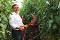 İLAÇ KALINTISI - Çal'da 3 Yıl Önce Başlatılan Örtü Altı Seracılık Meyvelerini Vermeye Başladı