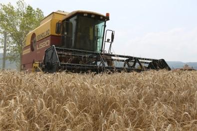 Nilüfer'de Ekolojik Buğday