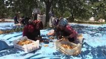 ŞEKER ORANI - Üretici 'Hasarlı' Kayısıda Bilinçlendi, Fiyat Yükseldi