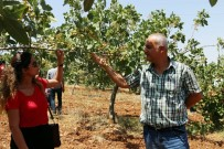 GÖKÇEBAĞ - Siirt'te Fıstık Üreticisinin Yüzü Gülüyor