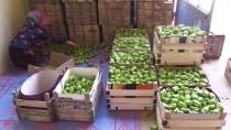 İLAÇ KALINTISI - Yenişehir Biberi Avrupa Sofralarını Süslüyor