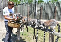 İZMIR DOĞAL YAŞAM PARKı - Yaramaz Lemurlar Doğal Besleniyor