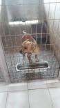 KURUÇEŞME - İzmit Zabıtası Başıboş Gezen Pitbull Cinsi Köpeği Barınağa Götürdü