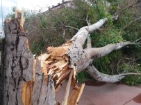 Samsun'da Fırtına Dev Ağacı Devirdi