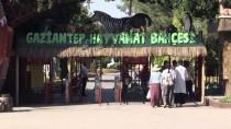 GAZİANTEP HAYVANAT BAHÇESİ - Gaziantep Hayvanat Bahçesi'nde 'Yavru' Sevinci