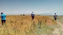 CEBRAIL - Tatvan'da NASA'nın Gözde Ürünü Kinoa Bitkisinden Olumlu Sonuç Bekleniyor