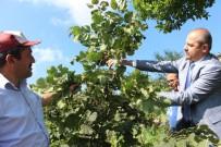 TARIM VE HAYVANCILIK BAKANLIĞI - Türkiye'de İlk Kez Bu Bahçede Uygulandı, Fındıkta Verim İki Kat Arttı