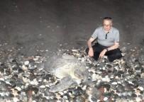 DENİZ KAPLUMBAĞALARI - Deniz Kaplumbağaları Mersin Sahillerine Yumurta Bırakmaya Devam Ediyor