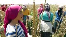 MEVSİMLİK İŞÇİ - Haşhaş Kırımı Yapan Kadınların Zorlu Mesaisi