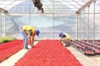 HERCAI - Büyükşehir Belediyesi Kendi Yetiştirdiği Çiçeklerle Aydın'ı Güzelleştiriyor