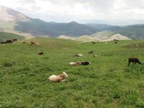 Eleşkirt'te 25 Büyükbaş Hayvan Çalındı