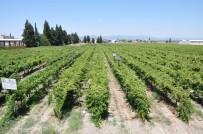 DOĞUŞ - Manisa'da Üzüm Hasadı Başladı