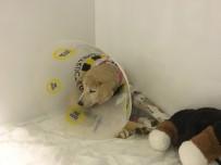 YAVRU KÖPEK - Mardin'de Vurularak Ağır Yaralanan 'Kuzey' İsimli Köpek, İstanbul'da Tedavi Altına Alındı