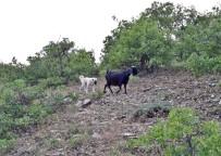 MEHMET ASLAN - Yavru Kangal, Kaybolan Keçileri Bulup Sahibine Teslim Etti