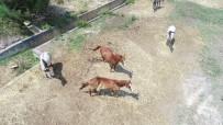 İLAÇ TEDAVİSİ - Adaya Sokulmayan Atlar Kaderine Terk Edildi