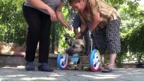 KÖPEK - Ayakları Kesilen Köpeğe Yürüteç Desteği