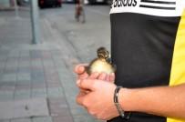 Minik Ördek Sahibiyle Caddelerde Gezip Kahveye Gidiyor