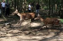 DOĞAL YAŞAM PARKI - Ormanya Ailesine 5 Kızıl Geyik Katıldı