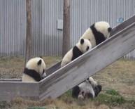 PANDA - Pandalara İsim Aranıyor
