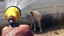 Kangal Köpeği 'Soğuk Duş' İle Serinliyor