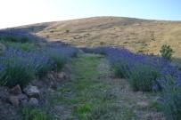 AHMET KOÇ - Afyonkarahisar'da Lavantalar Çiçek Açtı