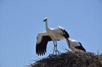 Lapseki'de Yumurtadan Çıkan Leylekler Uçmaya Hazırlanıyor