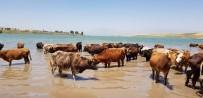 Sıcaktan Bunalan Hayvanlar Baraj Suyunda Serinliyor