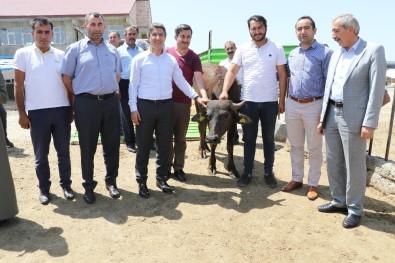 Ağrı'da Genç Çiftçilere Manda Dağıtımı Yapıldı