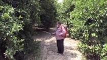 ALI TEKIN - Akdeniz Meyve Sineğiyle Mücadelede İkinci Toplu İlaçlama Başladı
