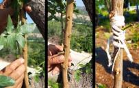 KARAOĞLAN - Antep Fıstığı Artık Eskişehir'de De Yetişiyor
