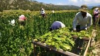 OLGUNLUK - Denizli'de 40 Derece Sıcak Altında Yoğun Tütün Mesaisi