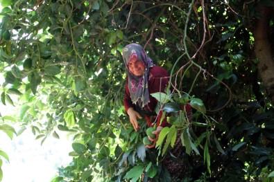 Avokado Üretiminde Hedef 40 Milyon Adet