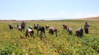 KURU FASULYE - Türkiye'nin İlk Fasulye Hasadı Niğde'de Başladı