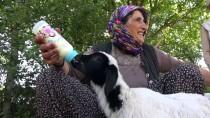Anneleri Ölen Kuzuları Biberonla Besliyor