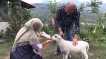 Kuzu 'Lokum'a Evde Bebek Gibi Bakım