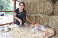 SOKAK HAYVANI - Göğsü Keskin Cisimle Yarılmış Halde Bulunan Köpek Tedavi Altına Alındı