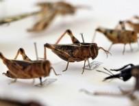 CELAL BAYAR ÜNIVERSITESI - Anadolu'da 20 yeni böcek türü bulundu