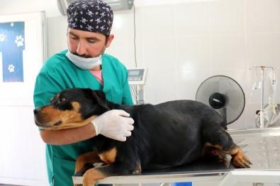 Gebe Köpek Belediyeye Emanet Edildi