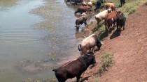 Muş'ta Sıcaktan Bunalan Mandalar Nehirde Serinletiliyor