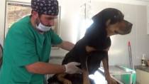 NORMAL DOĞUM - Sokak Köpeğinin Yavruları Sezaryenle Alındı